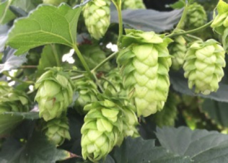 Hop Harvest Beer Tour — Saturday, Aug. 15, 2020